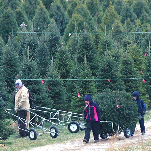 Fresh cut Fraser Fir, Noble Fir, Concolor Fir, and Nordman Fir for sale at Dull's Tree Farm in Thorntown, IN near Frankfort and Lebanon.