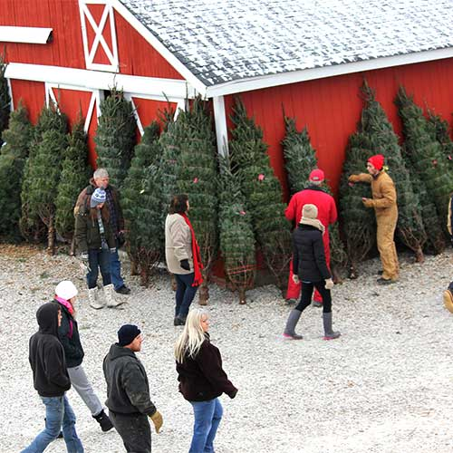 Choose and cut Scotch Pine, White Pine and Cannaan Fir for sale at Dull's Tree Farm in Thorntown, IN near Frankfort and Lebanon.