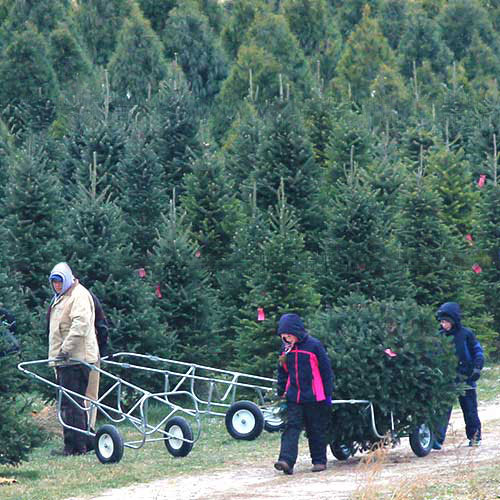 Choose and Cut Christmas trees at Dull's tree Farm in Thorntown, IN.