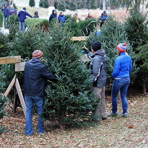 Pre-cut Christmas Trees at Dull's Tree Farm in Thorntown, In.